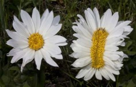 Creating Polyploid plants using Colchicine derived from