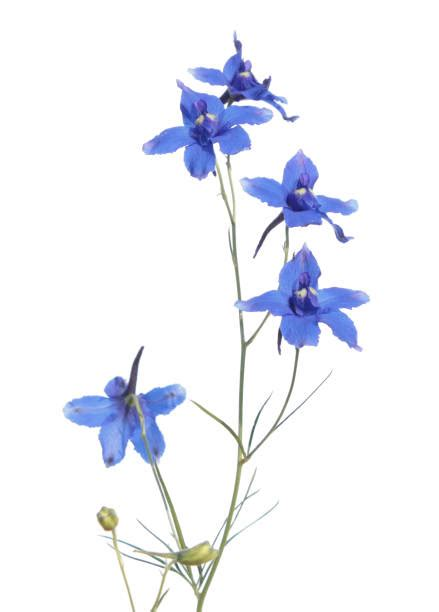 Top 60 Larkspur Flower Stock Photos, Pictures, and Images